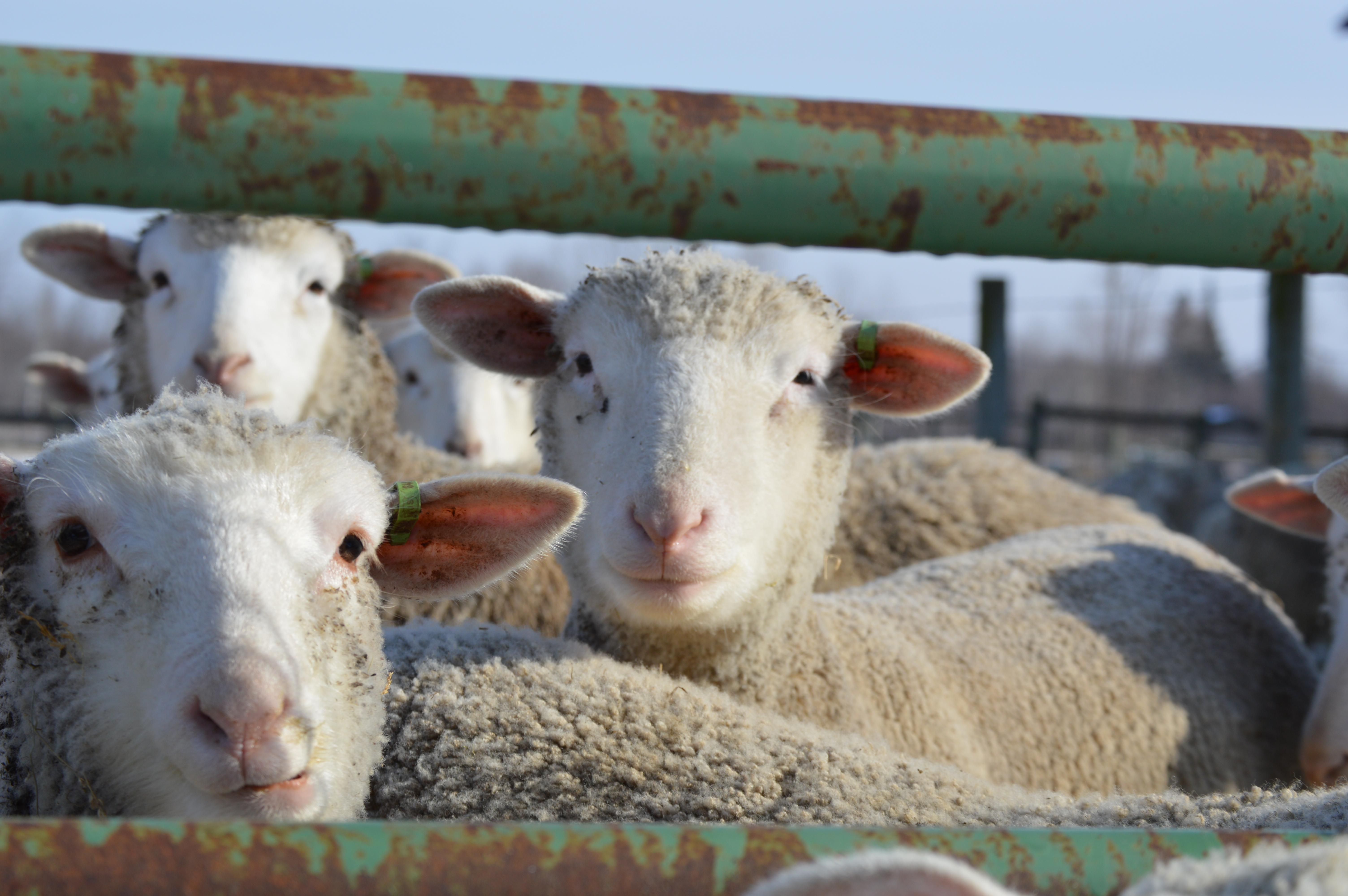 BristolLamb   Our family farms to provide food and fiber for